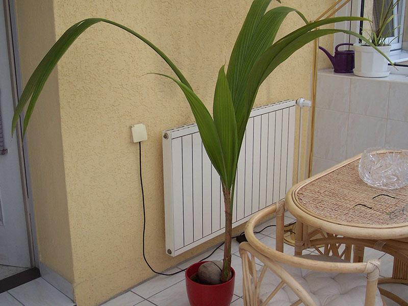 Kokospflanze im heimischen Wintergarten