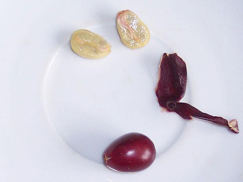 Kaffeekirsche und Samen