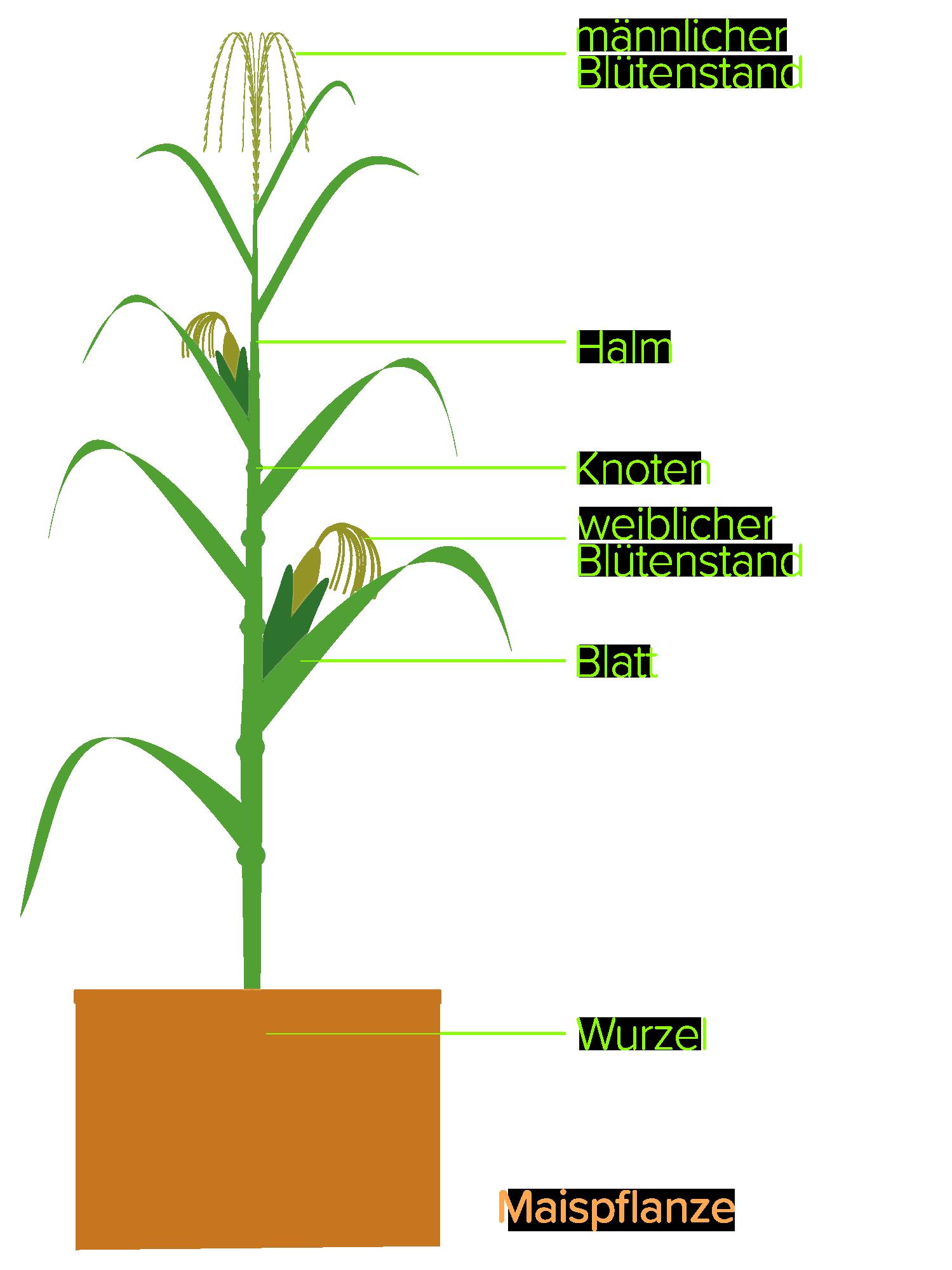 Maispflanze schematisch