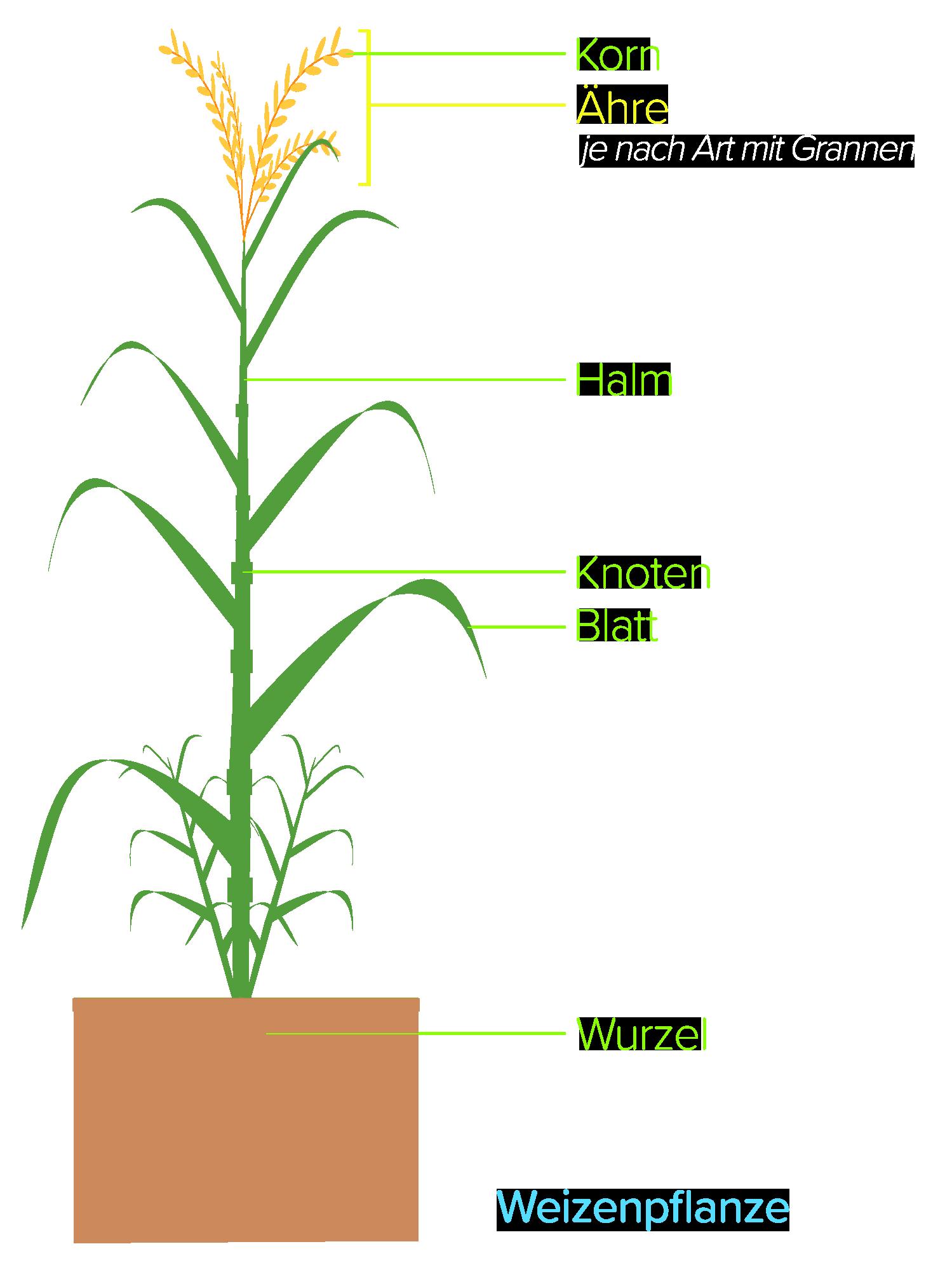 Weizenpflanze schematisch
